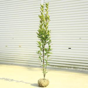 庭木:月桂樹(げっけいじゅ)ローリエ* 樹高:約100cm  y-bonsai