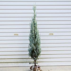 庭木:コニファーウィチッタブルー (ウィッチッタブルー)*樹高:100cm |y-bonsai