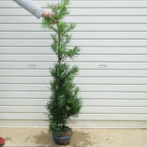 庭木:槙(ラカンマキ)|y-bonsai