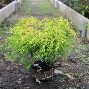 庭木:フィリフェラオーレア|y-bonsai