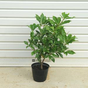 庭木:シキビ(シキミ)* 仏花としてお馴染み|y-bonsai