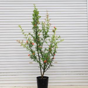 庭木:ザクロ(ざくろ) 6月入荷 大株 y-bonsai
