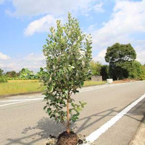 一緒に受粉木プレゼント!庭木:フェイジョア(ふぇいじょあ)* 樹高:約170cm 全高:約180cm 佐川大型商品発送  y-bonsai