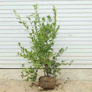 庭木:ブルーベリー(ホームベル) y-bonsai