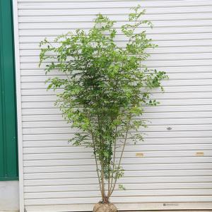 庭木:シマトネリコ 株立ち 常緑樹* シンボルツリー 樹高:約150cm 全高:約170cm SGW...