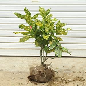 庭木:斑入アオキ y-bonsai