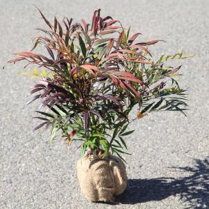 庭木:マホニアコンフューサ(細葉ヒイラギナンテン)|y-bonsai