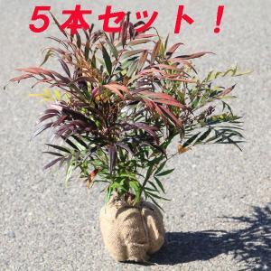 庭木:マホニアコンフューサ(細葉ヒイラギナンテン) 5本セット|y-bonsai