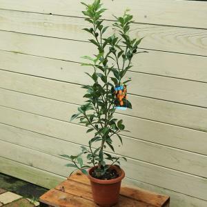 ((美容・健康に))家庭果樹:キンカン(金柑)*鉢植えにもぴったりの大きさ y-bonsai