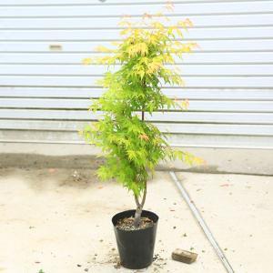 ちょうどよい大きさの美しい樹形 庭木・植木:青しだれもみじ 赤しだれもみじ など