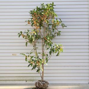 庭木:キンモクセイ(金木犀)(根巻き) *樹高:120cm 地堀り苗だからできる大きさ ヤマト便大型商品発送