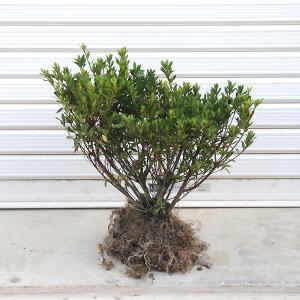 庭木:サツキ(さつき・大盃) 大株|y-bonsai