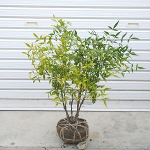 庭木:白南天|y-bonsai
