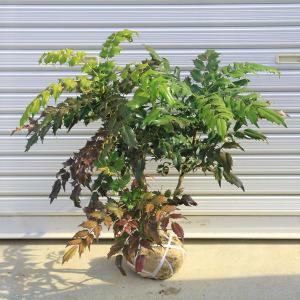 庭木:柊南天(ヒイラギナンテン)|y-bonsai