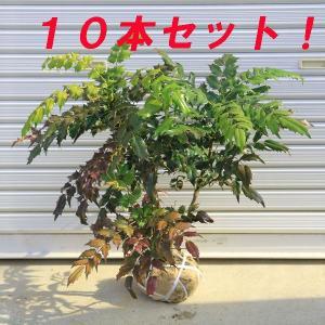 庭木:柊南天(ヒイラギナンテン) 10本セット|y-bonsai