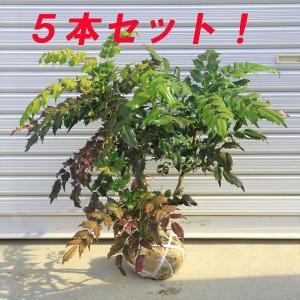 庭木:柊南天(ヒイラギナンテン) 5本セット|y-bonsai
