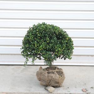 庭木:マメツゲ(玉作り)|y-bonsai