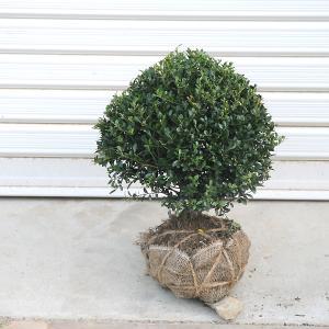 庭木:キンメツゲ(玉作り)  y-bonsai