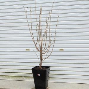 庭樹盆栽:満月ロウバイ(ろうばい)* 鉢植え  鉢色お選び下さい 佐川大型商品発送|y-bonsai