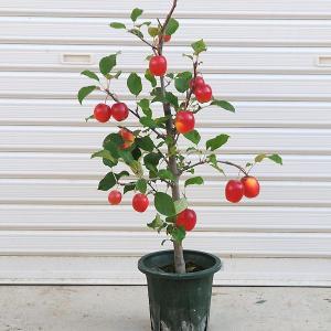 庭木:長寿りんご(長寿紅)* 6寸 大きな実が長く楽しめます y-bonsai
