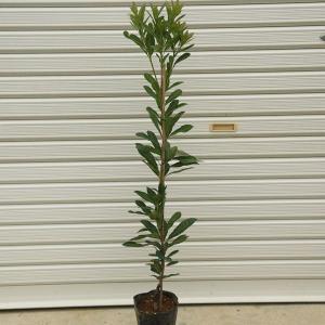 見てよし、食べてよし  庭木:山桃(やまもも)* 品種をお選び下さい  接ぎ木苗 森口、瑞光、秀峰 樹高:約100cm|y-bonsai
