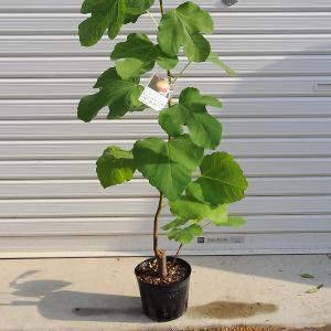 庭木:イチジク(グリス ビファレ) y-bonsai