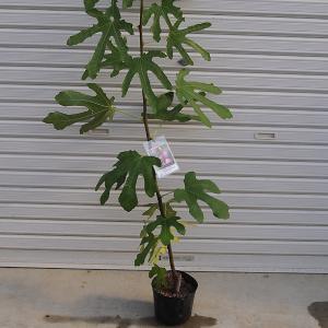 庭木:イチジク(ベローネ) y-bonsai