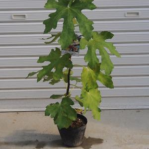 庭木:イチジク(バナーネ) y-bonsai