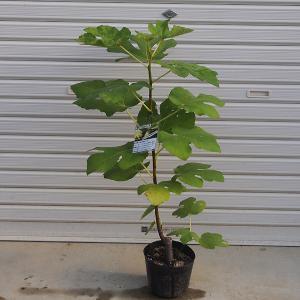 庭木:イチジク(ロードス) y-bonsai