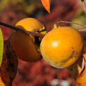 庭木:富有柿* 甘柿の大様とも呼ばれる代表種です y-bonsai
