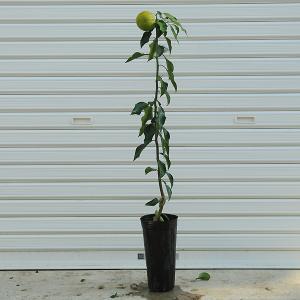 庭木:ジャバラ(柑橘) y-bonsai