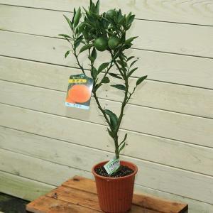 庭木:せとか(柑橘) y-bonsai