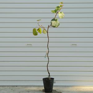 庭木:赤いキウイフルーツ y-bonsai