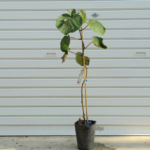 庭木:キウイフルーツ・オス木(孫悟空) y-bonsai