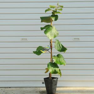 庭木:キウイフルーツ(ジャンボイエロー) y-bonsai