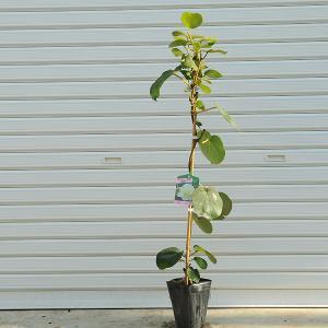 庭木:キウイフルーツ・オス木(早雄) y-bonsai