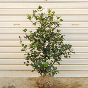 庭木:オニヒイラギ(ひいらぎ) |y-bonsai