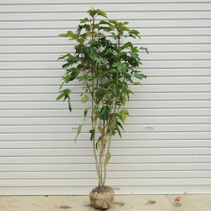 庭木:カクレミノ* 樹高:約120cm 全高:約140cm ヤマト便大型商品発送 y-bonsai