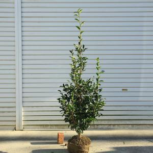 庭木:榊(サカキ)* 樹高:約120cm 全高:約130cm ヤマト便大型商品発送|y-bonsai