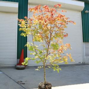 庭木:山もみじ(モミジ) 樹高:約150cm 全高:約160cm