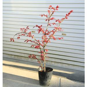 庭木:錦木(ニシキギ) y-bonsai