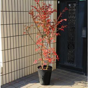 庭樹盆栽:錦木(ニシキギ)* 鉢植え  桃色の圧倒的な紅葉  SGW大型商品発送|y-bonsai