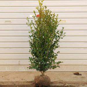 庭木:ボックスウッド y-bonsai