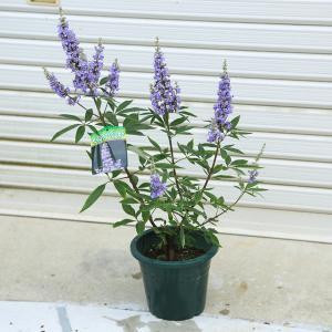 庭木:西洋ニンジンボク 紫 y-bonsai