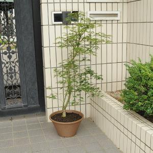 庭樹盆栽:青しだれもみじ*|y-bonsai