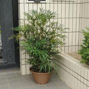 庭樹:マホニア・コンフューサ鉢植え*|y-bonsai