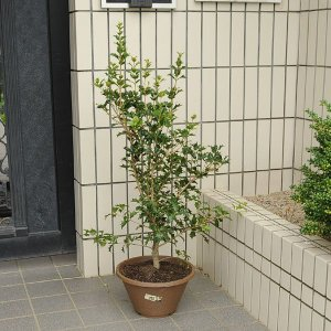 庭樹盆栽:オニヒイラギ鉢植え* ヤマト便(大型商品)発送|y-bonsai