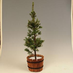 庭木:モミの木*|y-bonsai