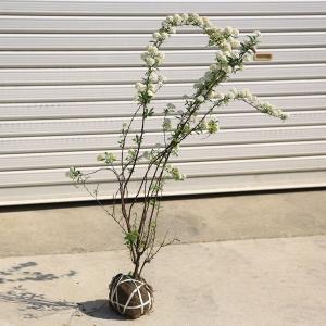 庭木:小手毬(コデマリ)|y-bonsai