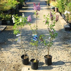 樹種:ライラック 品種:センセーション、紫花、ミセスエドワードハーディング、マダムレモイネ、キャサリ...